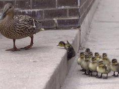 Mallard mother duck and her brood in an urban setting awwwww sweet