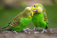 Cool and Funny Products with Budgie Budgerigar Designs All Birds, Love Birds, Beautiful Birds, Beautiful Images, Types Of Animals, Animals And Pets, Cute Animals, Baby Animals, Funny Animals