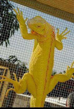Beautiful albino green iguana.