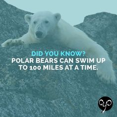 Who knew polar bears could swim so far! The longest polar bear swim recorded is 426 miles straight. Even with their amazing stamina, scientists predict climate change will melt enough sea ice to reduce the polar bear population by 2/3 by the year 2050.  Help save the polar bears with our endangered species products! 25% of profits donated to IFAW to help save animals. www.causeyoucarec... #endangeredspecies #polarbears