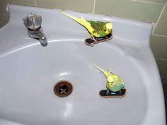 Google Image Result for http://www.bizarrebytes.com/wp-content/uploads/2010/11/parakeets-on-skateboard.jpg