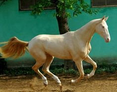 In many countries, pale palominos and double dilutes are called isabellas. Beautiful Horses, Animals Beautiful, Different Horse Breeds, Akhal Teke Horses, Golden Horse, Horse Anatomy, What A Beautiful World, Pony Horse, Thoroughbred