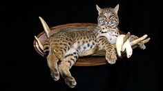 I Absolutely love the way this mount was done. I could live with out the ermine though. Bobcat lying on moose paddle with an ermine.