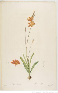 Les Liliacées. Tome 6 / , par P.-J. Redouté  Auteur :  Redouté, Pierre-Joseph 1812