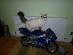Cat on a Bike by RedDevil00.deviantart.com on @deviantART