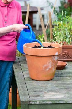 Water a Hydrangea Cutting Hydrangea Potted, Hydrangea Bush, Hydrangea Landscaping, Hydrangea Care, Landscaping Ideas, Growing Hydrangea, Backyard Landscaping, Garden Shrubs, Lawn And Garden