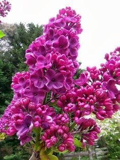 lilac love this color. Lilac Tree, Lilac Flowers, Pretty Flowers, Spring Flowers, Lilac Bushes, No Rain, Plantation, Amazing Flowers, Trees To Plant