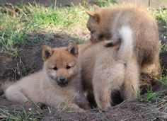 Digging Cute Puppies, Dogs, Animals, Animales, Animaux, Doggies, Animais, Dog, Adorable Puppies