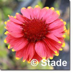 Staudenfoto zu Gaillardia x grandiflora 'Arizona Red Shades' Shops, Arizona, Plants, Red, Culture, Lawn And Garden, Tents, Retail, Plant