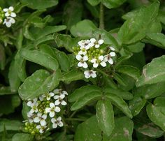 Watercress Rorippa nasturtium-aquaticum plants are edible raw. tastes like peppery lettuce or radishes. can be dried for storage. grows in c...