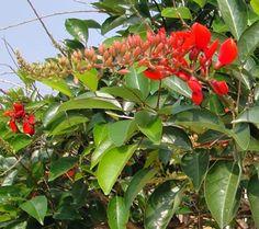 Bunga Dadap