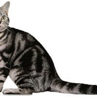 American shorthair cat breeders in ontario