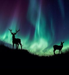 Beautiful Nature ‏ Aurora and Deer in Norway Aurora Borealis, Beautiful Sky, Beautiful Pictures, Hirsch Illustration, Northen Lights, Photo Animaliere, Landscape Tattoo, All Nature, Light Painting