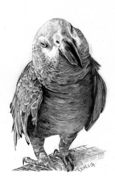 Title:  African Grey Parrot Size:  Drawn on A4 paper Medium:  Graphite Status:  Commission Karen Scott