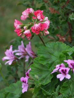 Englannin Pelargonia