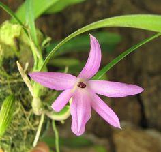Orquídea Isabelia violacea (Sophronitis)