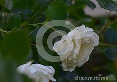 Beautiful white rose bush with green leaves in the background.