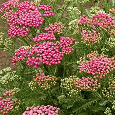 'Pink Grapefruit' yarrow  Achillea millefolium 'Pink Grapefruit' is a compact, vigorous plant with large domed flowers that open deep pink and slowly change to creamy rose. Zones 3-9