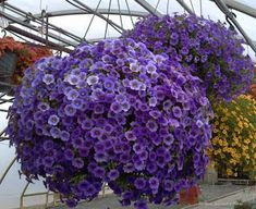 Hanging Baskets of Purple Flowers Hanging Flower Baskets, Hanging Planters, Hanging Gardens, Diy Hanging, Petunias, Container Plants, Container Gardening, Beautiful Gardens, Beautiful Flowers