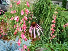 Sproutsandstuff: What's blooming in June-Penstemon barbatus and Echinacea pallida-http://sproutsandstuff.blogspot.co.uk/p/blog-page_2240.html