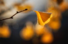 """Gingko Sunrise"" by MontanaRoots on flickr.  Harry Potter Hufflepuff House Aesthetic"
