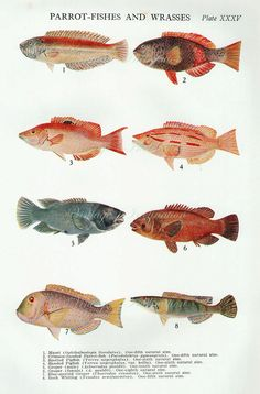 1912 Antique lithograph Fish of River and by VintageInclination