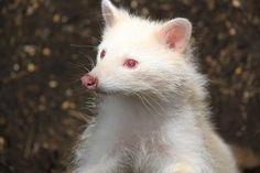 albino raccoon | Albino Raccoon! | Flickr - Photo Sharing!