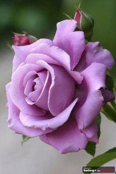 Purple Rose - Enchantment and Majesty