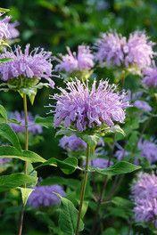 Bergamot Seed (Monarda fistulosa)