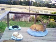 Deer Relaxes on Porch with Cats Like this.