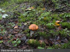 грибы в подмосковье 2016 форум август фото
