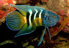 Paraplesiops bleekeri - Eastern Blue Devil Fish