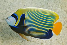 Emperor Angelfish (Pomacanthus imperator). Shown here in its adult coloration, these fish live in the shallows of Pacific and Indian ocean reefs.