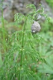 Peltokorte, Equisetum arvense, åkerfräken, kortteet ovat myrkyllisiä