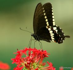 swallow tail butterfly in Hong Kong