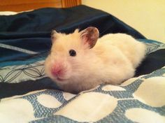 Sulley my syrian hamster :)