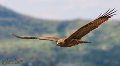 Yellow-billed Kite (Milvus aegyptius) Africa,they are found in almost all habitats, including parks in suburbia, but rare in the arid Namib and Karoo.