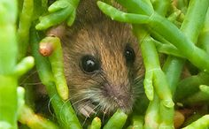 Harvest Salt Marsh Mouse in pickle weed