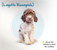 The Lagotto Romagnolo is a rare breed in the United States. Originating as one of the curly-coated water dogs seen frequently along the Mediterranean Sea in the 18th century, these dogs were first used as retrievers along the coast of northeastern Italy. However, as agricultural living progressed and marshes began to be drained to make room for farms, the Lagotto found himself out of a job.