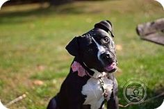 Labrador Retriever/Pit Bull Terrier Mix Dog for adoption at Rescue Dogs Rock, New York, New York - Babette was found as a stray & brought into animal control. It was evident she had recently given birth but no puppies were found. She was also extremely emaciated but is slowly putting on weight.