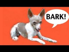 How to train NOT to bark. This could be used for knocking at door too.
