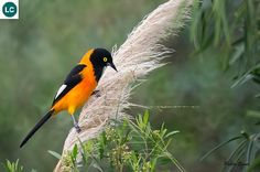 https://www.facebook.com/WonderBirdSpecies/ Campo oriole/Campo troupial (Icterus jamacaii); South America: Bolivia, Brazil, and Paraguay; IUCN Red List of Threatened Species 3.1 : Least Concern (LC)(Loài ít quan tâm) || Vàng Anh Campo; Nam Mỹ: Bolivia, Brazil, và Paraguay; Họ Hoét tân thế giới-Icteridae.