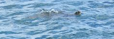 Green sea turtle in Kaneohe Bay, Oahu by kanjigirl, via Flickr - http://www.flickr.com/photos/kanjigirl/7327471678/in/set-72157630027188568/