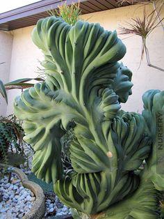 Myrtillocactus Geometrizans Blue Crest Cactus #MYR-GBC