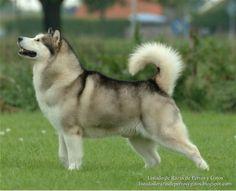 Listado de Razas de Perros y Gatos. Todos los tipos...: Raza de Perro Alaskan Malamute o Alaska Malamute (...
