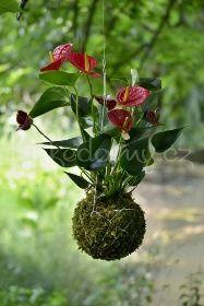 Závěsná kokedama Anthurium