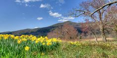 Daffodils and red maple (Acer rubrum) blooming along Sparks Lane this week in Cades Cove.