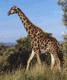 giraffes pictures | Giraffe Screensaver screenshot 1 - This screensaver will show on your ...