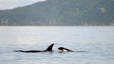 Awesome trip with Bigg's Killer Whales.