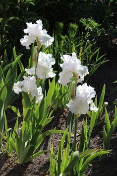 "irises ""Garden Bridge"" Purple Iris Flowers, Rare Flowers, Iris Garden, Moon Garden, Garden Plants, House Plants, When To Transplant Iris, Iris Drawing, February Birth Flowers"